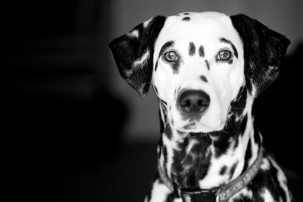 A black and white photograph of a Dalmation by Kendal photographer Ian Wood Photography