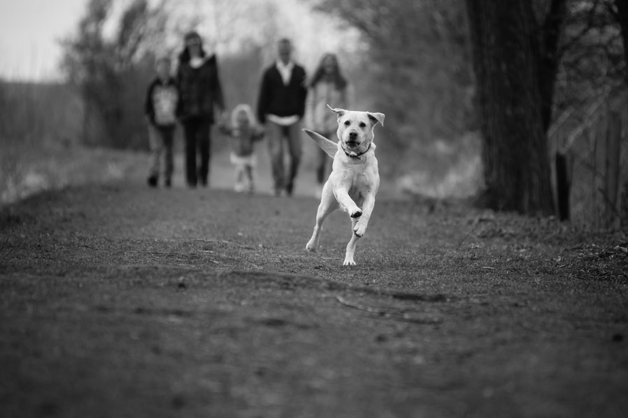 A family golden labrador running toward the camera in this black and white photograph.